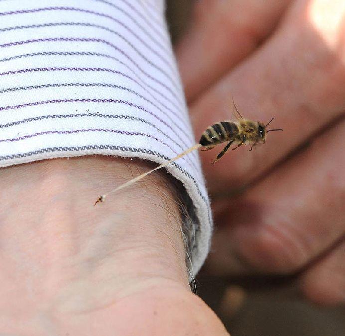 honeybee-death-final-sting-abdominal-tissue-trail-stinger-left-in-art-(1)